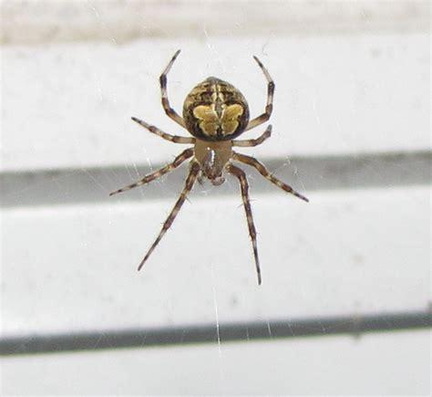 brown patterned spider bug eric october 2012