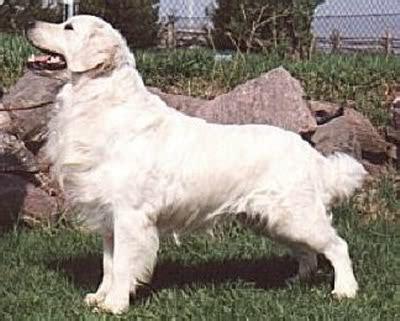 dewmist golden retrievers golden retrievers bernese mountain dogs glenbern bernese mountain dogs breeds