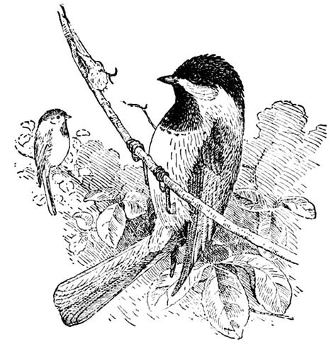 free black capped chickadee coloring pages