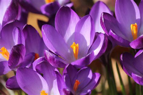 imagenes flores moradas flores moradas