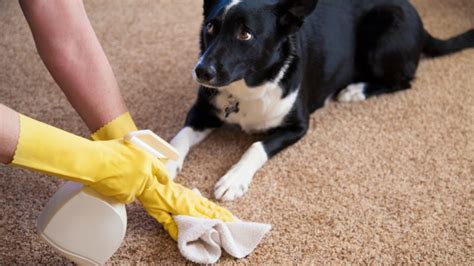 dog peeing in new house our 5 best tricks for getting rid of that dog pee smell rover com