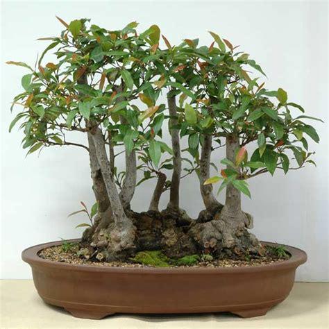 bonsai from native trees elaeocarpus reticulatus australian native plants as bonsai