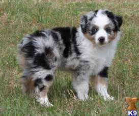Miniature australian shepherd puppies in tx