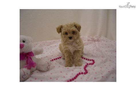 chi poo puppies for sale chi poo chipoo puppy for sale near springfield missouri a0cd1d4d 1bb1