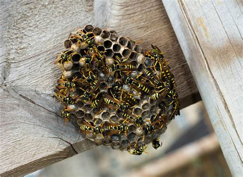 Bees That Make Paper Nests - how to get rid of a wasp or bee nest in 5 steps safebee