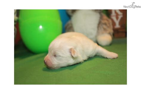havamalt puppies for sale havamalt puppies for sale from reputable breeders