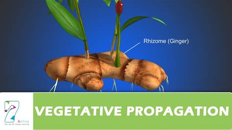 vegetative propagation - Vegetative Propagation By Roots