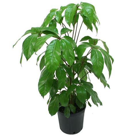 in door plants pot video three four plants argements delray plants schefflera amate in 8 3 4 in pot 10scheff