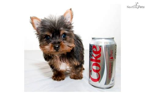 at what age is a yorkie grown terrier yorkie puppy for sale near columbus ohio 1f850a7a af91