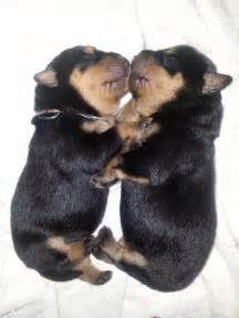 rottweiler breeders las vegas german style rottweiler breeder sales policy and guarantee in reno nv akc german
