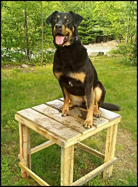 rottweiler aggression aggressive rottweiler rehabilitated by unleashed potential trainer unleashed