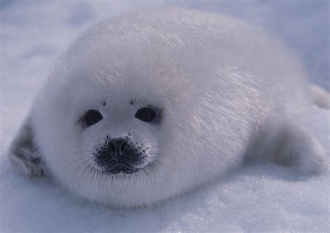 Seal Pop Seal Jus harp seal pup on photo by aqqa rosing asvid not flickr