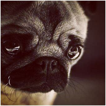 how to my pug puppy how to your pug puppy not to cry at pugs