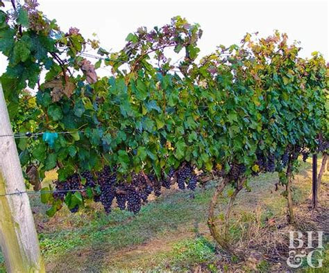 grapes plant images www pixshark com images galleries
