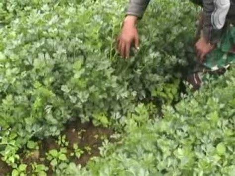 Pupuk Organik Grow More pupuk organik d i grow aplikasi pada tanaman seledri