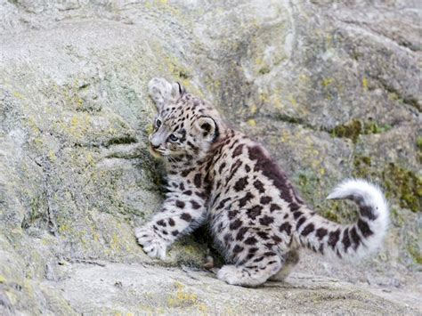 jaguar kitten 1000 images about baby animals on a
