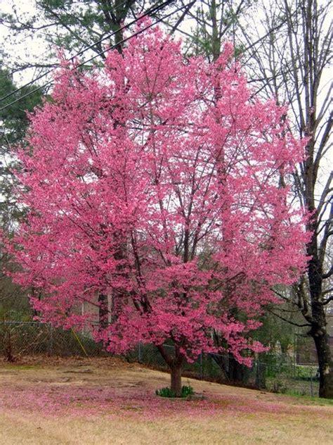 k cherry tree sherri s jubilee okame cherry trees are blooming in