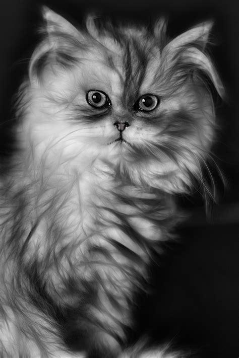 gambar kucing persia hitam putih roki gambar