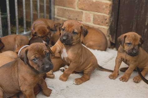 breeders in ridgeback puppies in dorset some availability