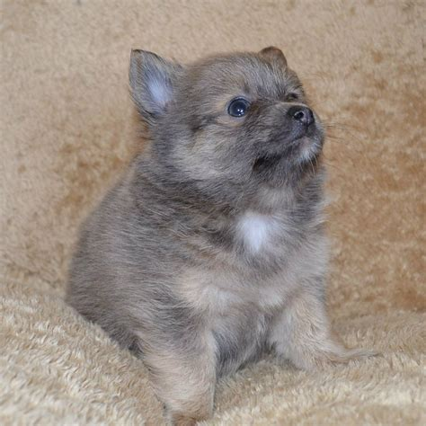 chihuahua and pomeranian puppies pomeranian x chihuahua puppies blackpool blue blackpool lancashire pets4homes