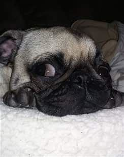 pugs allergies pictures of pug skin rashes allergies breeds picture