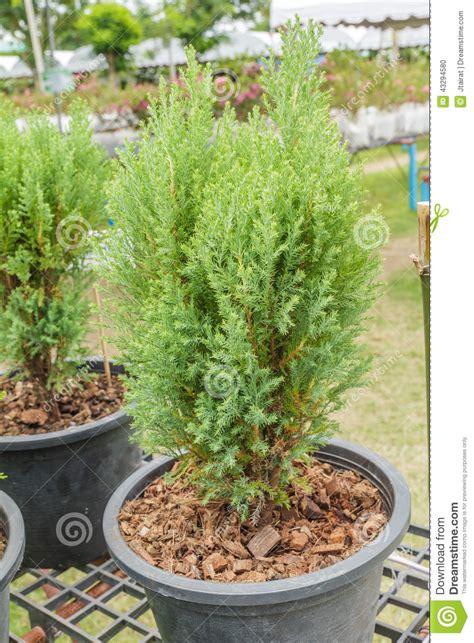 pino da vaso piantina pino in conservato in vaso per la vendita