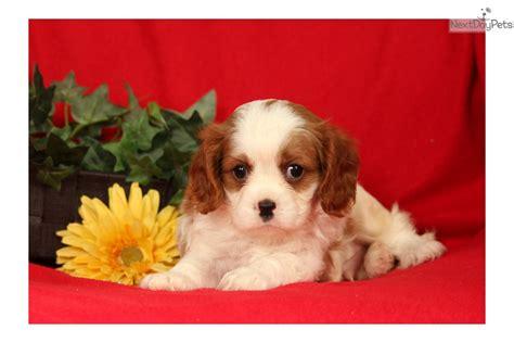 king charles cavalier puppies for sale near me cavalier king charles spaniel puppy for sale near lancaster pennsylvania e1ece0b1 ca51