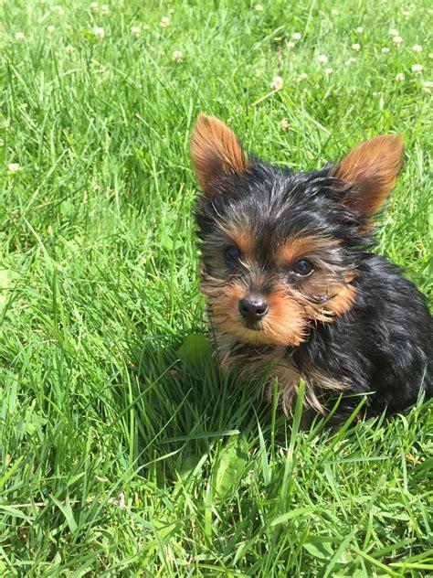 things yorkies 17 things only terrier owners understand
