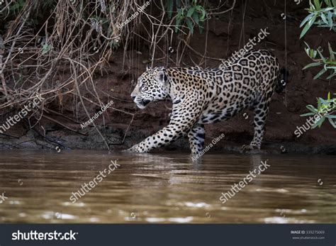 jaguar bathtubs jaguar going bath cuiaba river brasilian stock photo 339275069 shutterstock