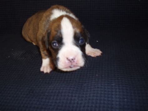 pugs for sale in wilmington nc boxer for sale nc we still one boxer puppy for sale they are ready to go