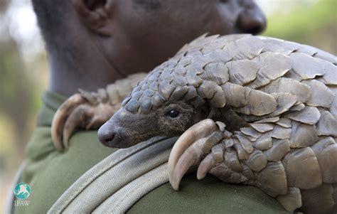 ifaw protecting pangolins  world pangolin day
