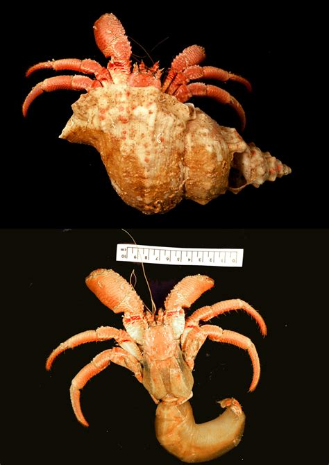 creature feature the striated hermit crab western