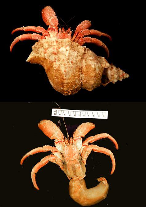 creature feature the striated hermit crab western australian museum