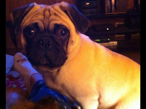 deborahs pugs pug for sale akc marketplace