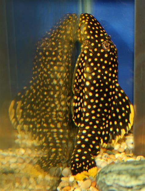 Sweety Silver L18 2 Sweety L18 golden nugget pleco l18 10 12cm sweet knowle aquatics shop