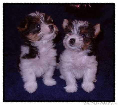 when do yorkies stop growing biewer terrier welpen kaufen berlin dogs in our photo