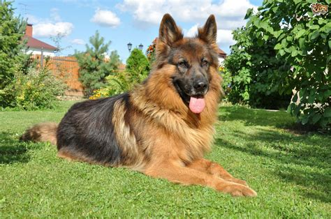 mmm in dogs masticatory myositis in dogs pets4homes