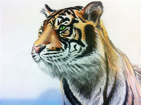 tiger coloured pencil drawing by anime reality on deviantart