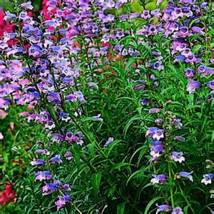 9 beautiful low water plants beard tongue penstemon 9
