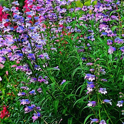 9 beautiful low water plants beard tongue penstemon 9