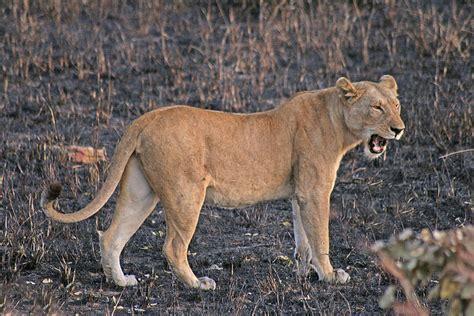 imagenes de leones macho y hembra vida salvaje