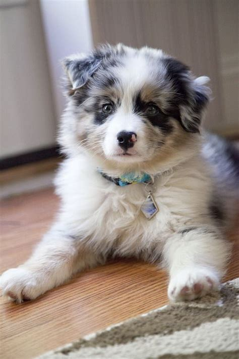 blue merle australian shepherd puppies 25 best ideas about australian shepherd puppies on australian shepherds