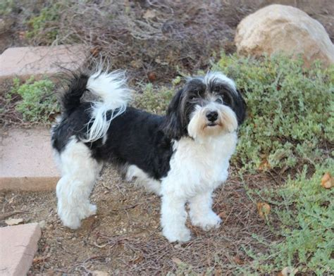 havanese with puppy cut puppy cut havanese www pixshark images galleries with a bite