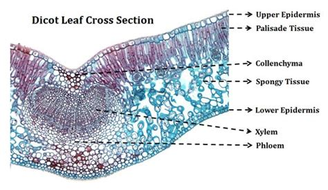 monocot leaf cross section labeled ts of dicot leaf under a microscope ppt easybiologyclass