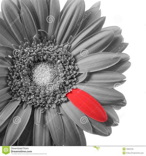 fotos en blanco y negro con rojo gerbera blanco y negro con el p 233 talo rojo fotos de archivo