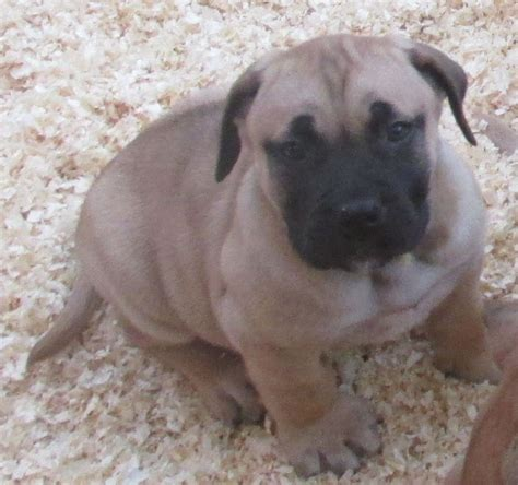 boerboel puppies for sale pin boerboel puppies for sale top south bloodline on