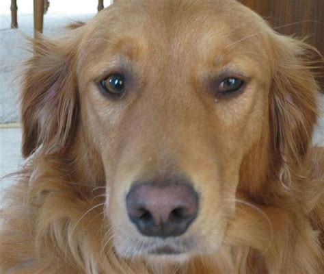 buddy golden retriever buddy the golden retriever run that mutt solana ca offering running