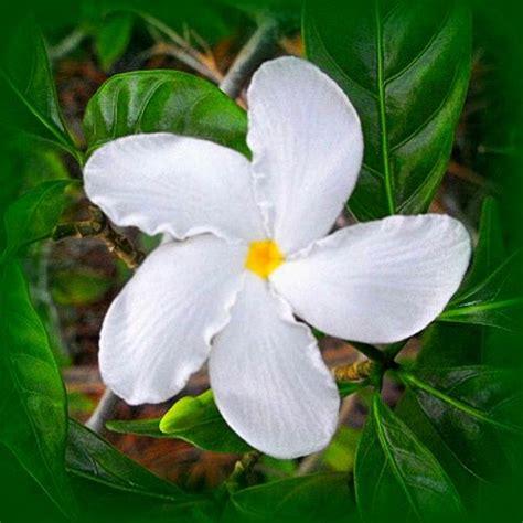 khasiat tanaman bunga melati mari berbagi