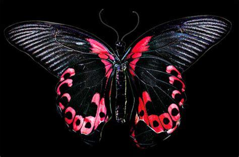 red and black butterflies ajậ memeko
