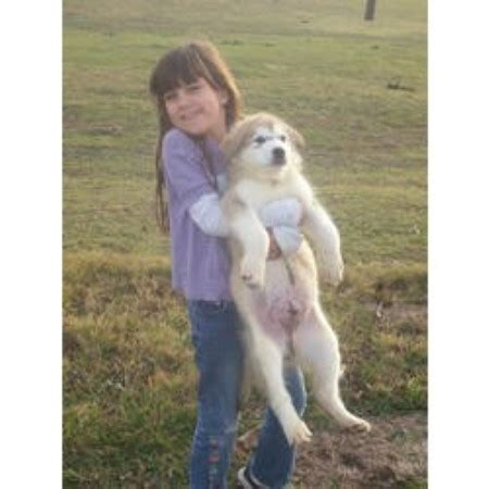 alaskan malamute puppies ohio alaskan malamute breeders in freedoglistings